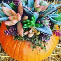 Succulent Pumpkin Swig and Dig