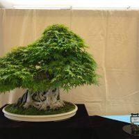 American Bonsai Association Sacramento Spring Show