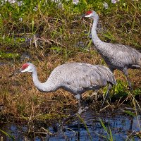 All About Sandhill Cranes