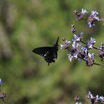 UC Davis Arboretum Plant Sale