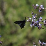 UC Davis Arboretum Plant Sale (Cancelled)