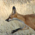 Peaks, Valleys, and Farms: Western Red Foxes (Canc...
