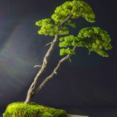 American Bonsai Association Spring Show (Cancelled...