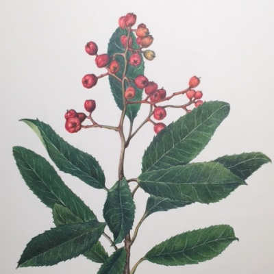 Botanical Illustration for Experienced Beginners