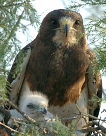 Friends of the Swainson's Hawk